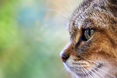 Wildcat Portrait (DB-Naturfotografie) Tags: portrait nature closeup bokeh natur katze wildcat wildkatze detail eye canon details wildpark eosr