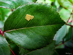 Rose leaf with eggs - Feuille de rose avec des oeufs (monteregina) Tags: file:name=nb201906161660 insect insecte eggs oeufs détails details feulle leaf rose stuctures pattern macro fullframe