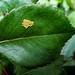 Rose leaf with eggs - Feuille de rose avec des oeufs