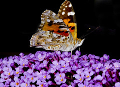 Painted lady (wayne.withers1970) Tags: wild summer color colour nature wales butterfly fly flying wings colorful flickr pretty dof natural wildlife small flight moth colourful macromonday flowers light orange brown white plant black flower macro animal fauna canon bug dark insect outside outdoors countryside flora purple buddleia blossom country fine sigma vegetation bloom alive invertebrate naturephotography macromondays