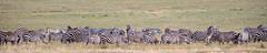 (Markus Hill) Tags: arusha tansania ngorongoro crater krater zebra safari africa 2019 canon wildlife
