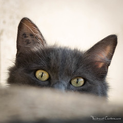 I can see you (Man0uk) Tags: cats chats pets animals animaux