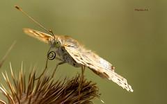LENGUA DE MARIPOSA (wiedu09) Tags: trompa lengua mariposa butterfly argynnispaphia