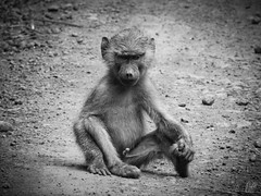 YOUNG OLIVE BABOON (eliewolfphotography) Tags: baboon primates primate olivebaboon animals africa blackandwhite tanzania nature naturelovers nikon naturephotography natgeo ngorongoro natgeowild ngorongorcrater safari safariphotography wildlife wildlifephotographer wildlifephotography
