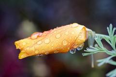 I Won't Come Out (ROPhoto77) Tags: poppy garden flowers raindrops rain cmbg green yellow outdoor orange nature beautyinnature wet sonya7iii luminar3