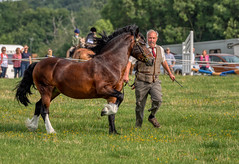 Welsh Section D (sho5572) Tags: northamptonshire horseshow blakesley 2019 countryshow welshsectiond summer outdoors outdoor august horse bay pony inhandshowing