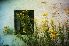 The hidden window (*Kicki*) Tags: window wall flowers yellow rural countryside nature gotland sweden summer stalmungs havdhem farm house storaalmungs farmhouse decay fs190825 vykort fotosondag