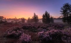 Sunrise over the heather (titidylan) Tags: tree tranquil scene nature outdoors sky scenics landscape cloud sunset beauty dusk fog dawn sunrise