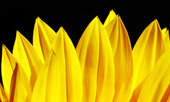 IS7DII_099172-5 Stack (Ian Slingsby) Tags: sunflower focusstack macro flower yellow