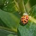 Harmonia axyridis, Asian Lady Beetle