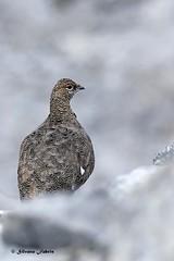 Mimetismo nel grigio.. (silvano fabris) Tags: mountain canonphotography wildlifephotography faunaalpina tetraonidi birds animals pernicebianca ptarmigan