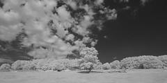 Oak Tree on the Common (IanAWood) Tags: 720nminfrared chorleywood digitalinfrared hertfordshire nikkorafs1224mmf4gdx nikond70ir thechilterns walkingwithmynikon