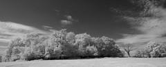 One dead tree (IanAWood) Tags: 720nminfrared chorleywood digitalinfrared hertfordshire nikkorafs1224mmf4gdx nikond70ir thechilterns walkingwithmynikon