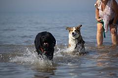 Unleash the hounds (alasdair massie) Tags: labrador wash beach dog black snettisham vizsla sea norfolk seaside pasha sarah scarpa uk