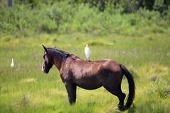 Bird on Pony 15 (Ken S Three) Tags: pony nature wildlife assateague animal