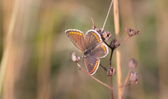 Brown Hour (music_man800) Tags: aricia agestis brown argus butterfly butterflies lepidoptera insect insects animal animals nature wildlife wild uk flora fauna united kingdom denbies hillside chalk downland reserve national trust surrey hills evening golden hour bask basking wings open orange colours colourful second brood august summer hot warm 2019 canon 700d adobe lightroom creative cloud edit photography walk hike arty artistic context sigma 150mm macro lens focus sharp background blur