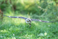 Millets Farm Falconry Centre 17-8-2019 (Anthony P Morris) Tags: abingdon england unitedkingdom millets farm falconry centre milletsfarmfalconrycentre milletsfalconry milletsfalconrycentre bird birds birdofprey raptor raptors owl owls hawk hawks vulture vultures kite kites falconer anthonymorris anthonypmorris tonymorris farmoor oxford oxfordshire