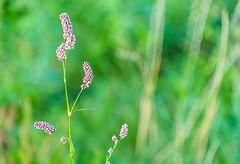 Tiny Beads of Flowers (Orbmiser) Tags: nikonafpdx70300mmf4563gedvr d500 nikon oregon portland flower flowers