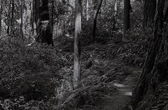 A light in the forest (bingley0522) Tags: nikonfm micronikkor55mmf35 trix hc110h epsonv500scanner sammcdonaldcountypark lahonda sanmateocounty coastalcalifornia autaut