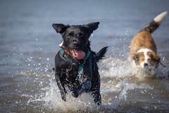 Unleash the hounds (alasdair massie) Tags: labrador wash beach dog black snettisham vizsla sea norfolk seaside pasha scarpa uk