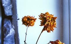 Dead flowers in colour #2 (Mano Green) Tags: dead flowers colour orange red window light stem still kendal cumbria england uk october 2016 canon eos 300 40mm lens kodak gold 200 35mm film epson perfection v550