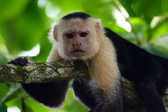 White-faced Capuchin (RosePerry1107) Tags: whitefaced capuchin costarica osapeninsula nikon z6 500mmpf monkey wildlife