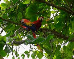 Scarlet macaw (RosePerry1107) Tags: osapeninsula costarica nikon z6 scarletmacaw birds wildlife wildbirds