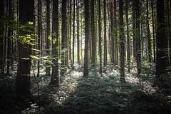 Waldlichter - Sony RX0M2 (Andreas Voegele) Tags: sony sonyrx0ii sonyrx0m2 rx0ii rx0m2 andreasvoegelephoto wald waldundlicht licht lightroom forest forestlight
