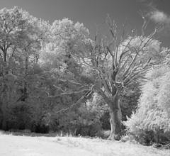 Dead wood in the hedge (IanAWood) Tags: 720nminfrared chorleywood digitalinfrared hertfordshire nikkorafs1224mmf4gdx nikond70ir thechilterns walkingwithmynikon