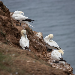 Preening session (Sueyork58) Tags: seabirds wildlife yorkshire gannets bemptoncliffs
