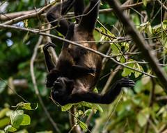 Howler monkey Mom & Baby (RosePerry1107) Tags: howlermonkey costarica osapeninsula monkey babymonkey nikon z6 500mmpf babyhowlermonkey wildlife