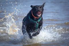 Spalsh (alasdair massie) Tags: labrador wash beach dog black snettisham vizsla sea norfolk seaside scarpa uk