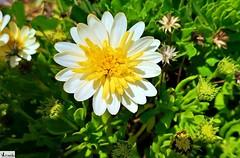 Hermosa Flor. (In Dulce Jubilo) Tags: fotografía flor flores flowers colors colores naturaleza nature photography jardin garden belleza nice cool