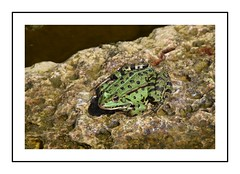 grenouille (Christ.Forest) Tags: grenouilleverteapointnoir grenouille verte nature noir mares