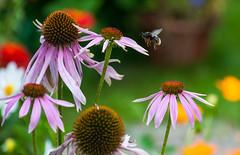 Landing (free3yourmind) Tags: landning land approach flower plant outdoor nature flowers garden minsk belarus colorful flying
