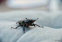 The black beele (degreve.sarah) Tags: beetle coléoptère insect insecte animal black noir