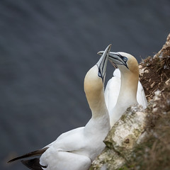 Welcoming ritual (Sueyork58) Tags: seabirds wildlife yorkshire gannets bemptoncliffs