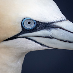 Gannet close up (Sueyork58) Tags: seabirds wildlife yorkshire gannets bemptoncliffs