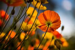 Sun Worshipers (Asbjørn Anders1) Tags: botaniskhage sibirvalmue arcticalpinebotanicgarden siberianpoppy poppies colors colorful blue yellow orange green outside nature artistic photoart tromsø tromso norway