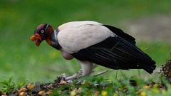 King Vulture (RosePerry1107) Tags: kingvulture costarica osapeninsula nikon z6 500mmpf birds vultures wildlife