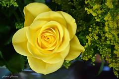 Een gele roos (Astrid1949) Tags: rozen bloemen geel augustus 2019
