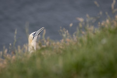Peeping over the cliffs at Bempton (Sueyork58) Tags: seabirds wildlife yorkshire gannets bemptoncliffs