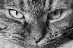 Regard félin du jour (comlelievre) Tags: chat regard gueule félin