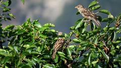 Moineaux (bernard.bonifassi) Tags: bb088 06 alpesmaritimes août 2019 été counteadenissa canonpowershotsx60hs thiery 5000000vues oiseau moineau