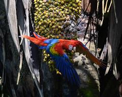 Scarlet Macaw (RosePerry1107) Tags: scarletmacaw osapeninsula costarica birds wildbirds wildlife nikon 500mmpf nikonz6 birdlovers birdwatchers birdwatching wildlifephoto wildlifephotography wildlifelovers naturephotography scarletmacawinflight