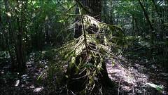 20190825. Forest. 151418 (Tiina Gill (busy)) Tags: estonia forest outdoor summer fir tree backlight