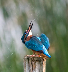 kingfisher (terry@sevensixty images) Tags: kingfisher nature wildlife wildbritain birdwatching oxfordshire farmoorreservoir canoneos760d tamron150600mmzoomlens