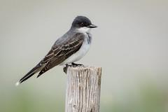 Eastern Kingbird (mavourneens) Tags: eastern kingbird utah farmingtonbay animal photo wood fence green canon tamron