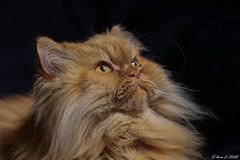 Frimousse...mon Persan adoré ! (Hervé LE JEUNE) Tags: pets cat chat persan persian félin animal