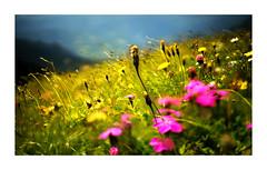 S-M-C Takumar 50mm f1.4 (roland947) Tags: nature flowers austria takumar50 takumar sony sonya7mii